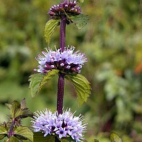 Mentha Arvensis - Ayurvedic and Herbal - NepalB2B