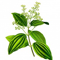 Cinnamonum Essential Oil - Agriculture and Animal Products - Ayurvedic and Herbal - NepalB2B