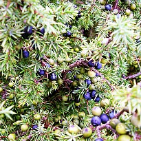 Juniper Berry Oil - Agriculture and Animal Products - Ayurvedic and Herbal - NepalB2B