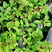 Mentha Pvensis Oil - Agriculture and Animal Products - Ayurvedic and Herbal - NepalB2B