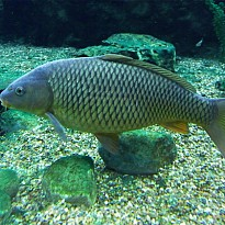 Commoncarp - Agriculture and Animal Products - Food and Beverages - NepalB2B