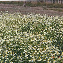 Chamomile Oil - Agriculture and Animal Products - Ayurvedic and Herbal - NepalB2B